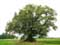 Tree example Lime Tree of the Motte (in Bodegn�e)