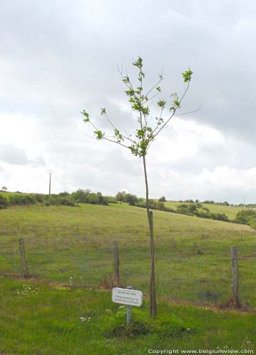 Saint-Martin (in Hour) HOUR / HOUYET picture Tree planted for the yougth