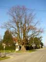 Chapel and lime-tree (in Issegem (Balegem)) OOSTERZELE picture: